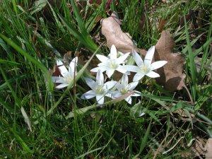 Fiori Bianchi Bosco.I Fiori Primaverili Continuazione Flora E Fauna I Monti Del